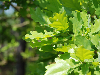 Photo of May leaves