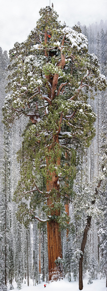 Photo of one of the world's tallest trees, the President in northern California